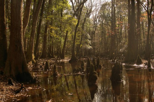 Seventeen Mile River Cypress Knees Photograph Copyright Brian Brown Vanishing South Georgia USA 2015