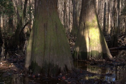 Seventeen Mile River Cypress Trees Photograph Copyright Brian Brown Vanishing South Georgia USA 2015