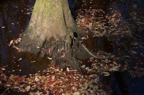 Seventeen Mile River Cypress Trunk Photograph Copyright Brian Brown Vanishing South Georgia USA 2015