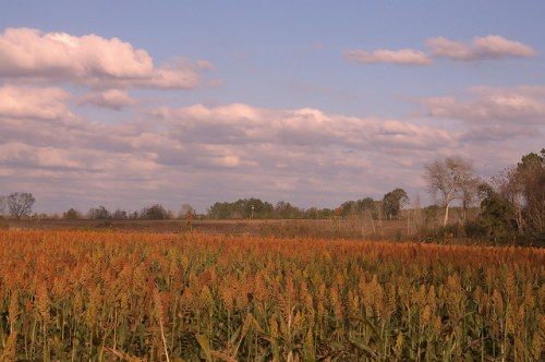 Sorghum Field Irwin County GA Photograph Copyright Brian Brown Vanishing South Georgia USA 2015