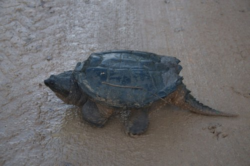Common Snapping Turtle Chelydra serpentina Irwin County GA Photograph Copyright Brian Brown Vanishing South Georgia USA 2016