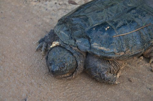 Common Snapping Turtle Walker Road Irwin County GA Photograph Copyright Brian Brown Vanishing South Georgia USA 2016