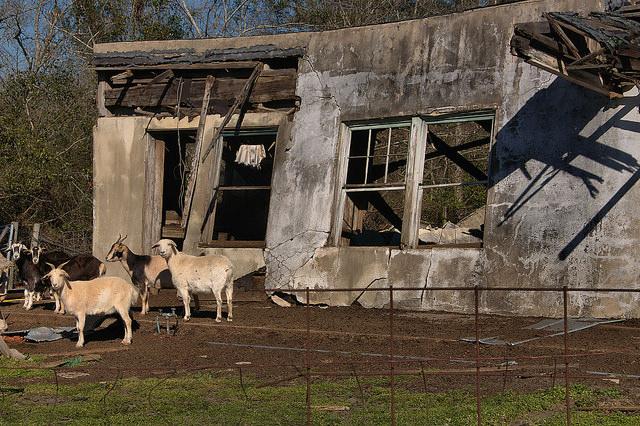 Pringle Georgia Abandoned Building Goats Photograph Copyright Brian Brown Vanishing South Georgia USA 2016