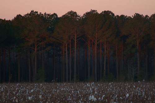 Sunrise On Pine Trees Cotton Field Holt Road Irwin County GA Photograph Copyright Brian Brown Vanishing South Georgia USA 2016