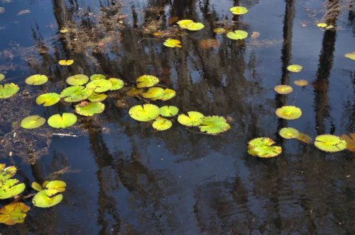 banks-lake-lilly-pads-photograph-copyright-brian-brown-vanishing-south-georgia-usa-2016