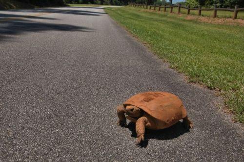 kolomoki mounds state historic park gopher tortoise photograph copyright brian brown vanishing south georgia usa 2016