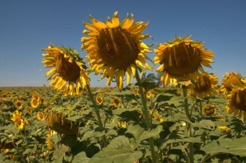 oliver farm sunflowers pitts ga photograph copyright brian bown vanisihng south georgia usa 2016