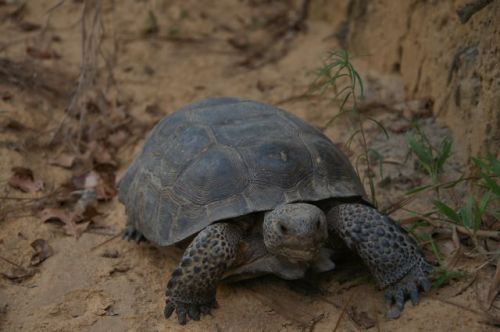 ben hill county ga endangered gopher tortoise photograph copyright brian brown vanishing south georgia usa 2016