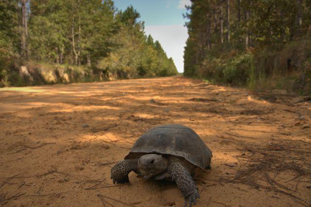 ben hill county ga gopherus polyphemus gopher tortoise photograph copyright brian brown vanishing south georgia usa 2016