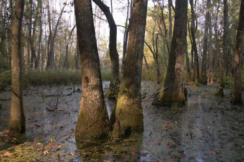 ben-hill-county-ga-hardwood-swamp-photograph-copyright-brian-brown-vanishing-south-georgia-usa-2016