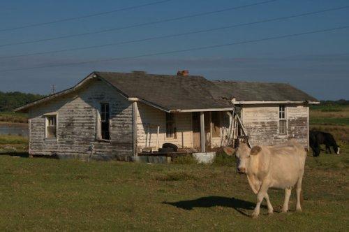 irwin-county-ga-tenant-farmhouse-cows-photograph-copyright-brian-brown-vanishing-south-georgia-usa-2016