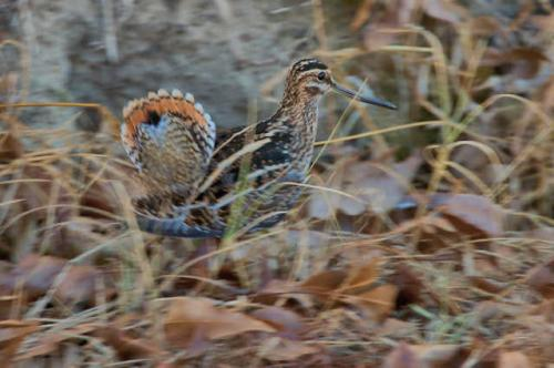 wilsons-snipe-displaying-ben-hill-county-ga-photograph-copyright-brian-brown-vanishing-south-georgia-usa-2016